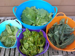 Kale, Spinach and Swiss Chard