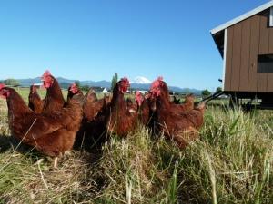 chickens 010