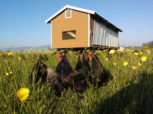 Egg Mobile Australorp